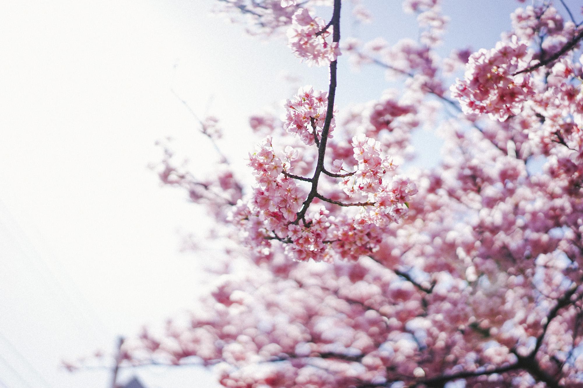 1000本桜と菜の花の絶景!三浦海岸桜まつり2020 現地レポート