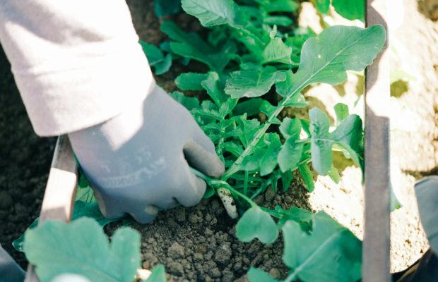 三浦の農家さん直伝!三浦野菜の旬とおいしい見分け方|市場に出回らない秘密の野菜・おろ抜き編